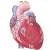 Sistema Cardiovascular – Curso de Biologia